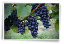 Lynfer Estate Grapes